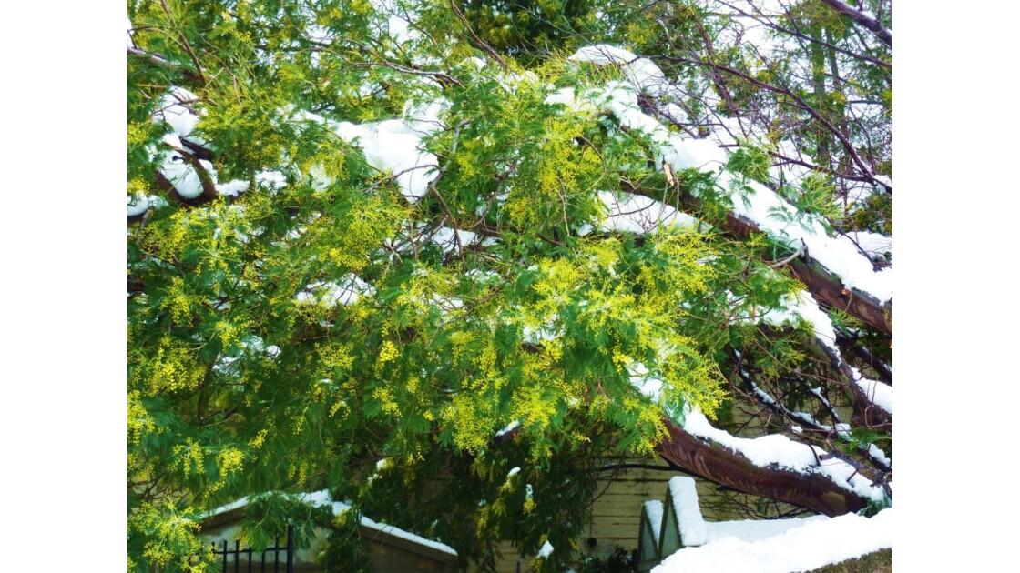 Mimosa en neige...