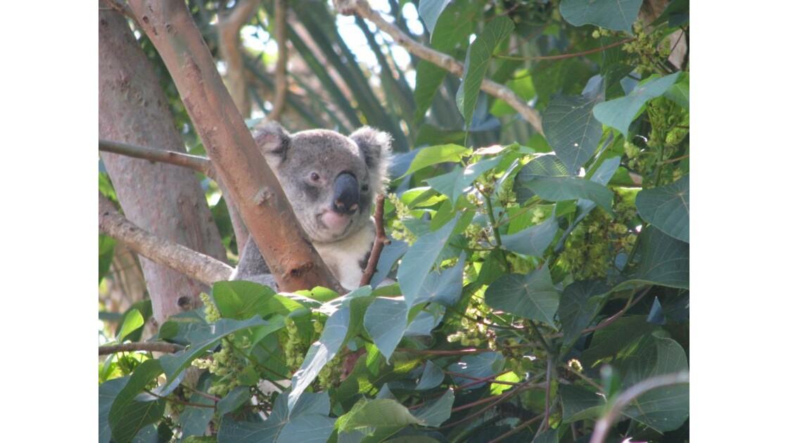 koala réveillé