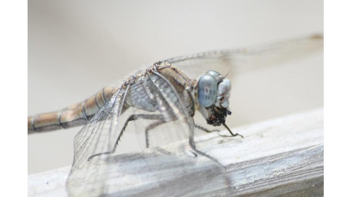 Odonate mangeant un insecte