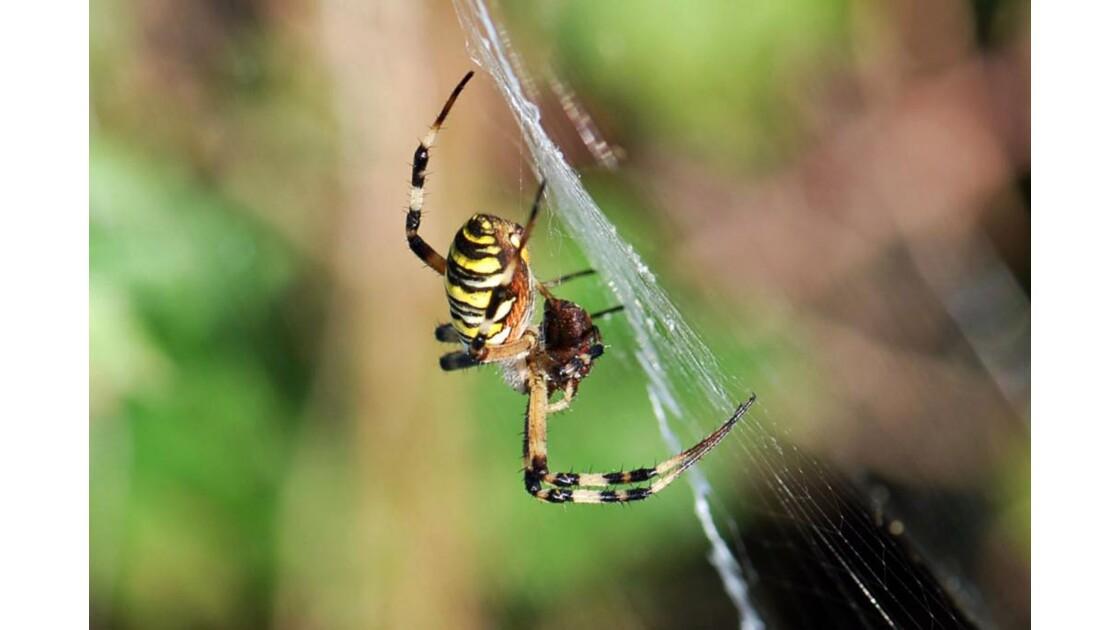 Araignée (7) - Argiope frelon - 2009 08