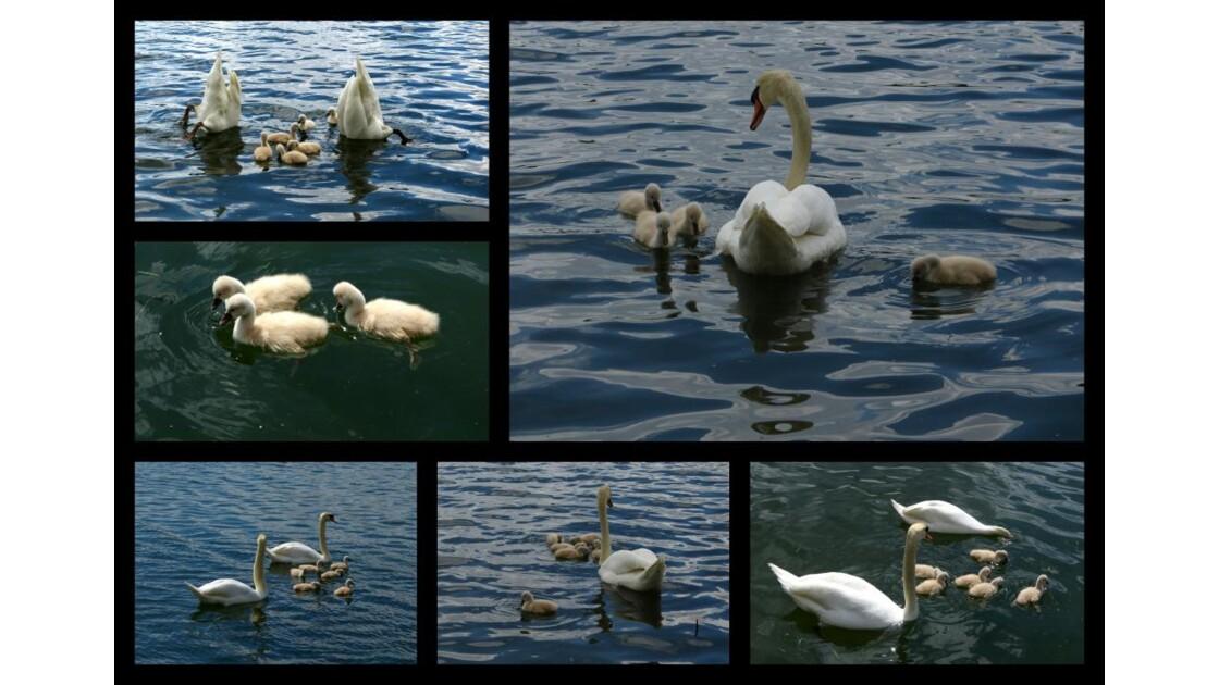 Famille cygne sur le lac