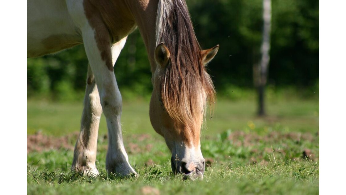 Cheval broutant