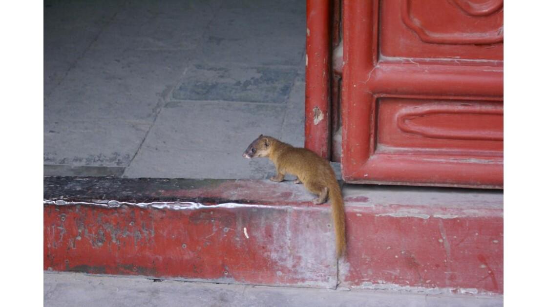 Mangouste à la porte