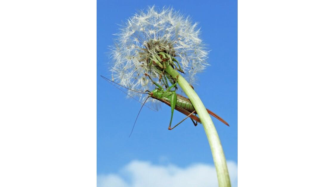 Grande sauterelle verte (femelle)