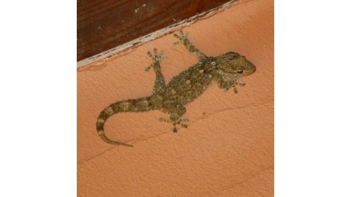 Gecko des murs