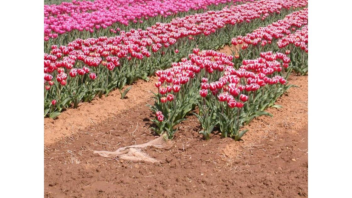 Pour les amateurs de tulipes.