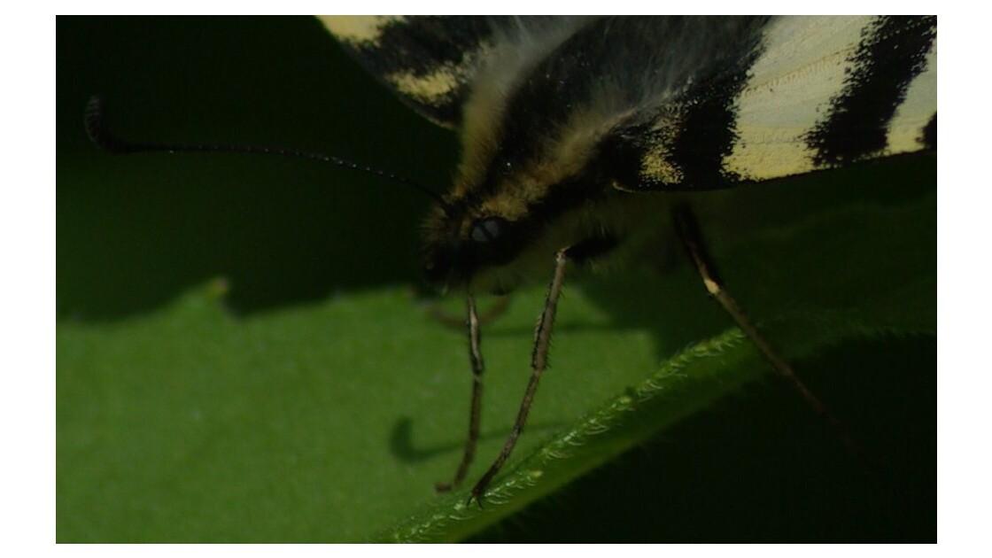 L'oeil du papillon