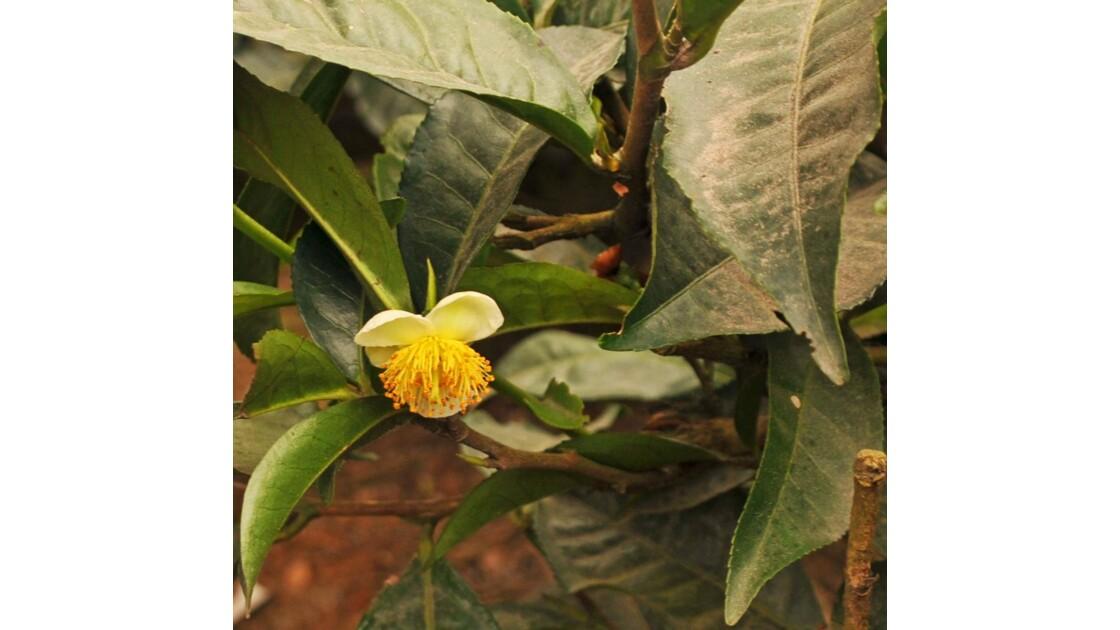 feuilles et fleur de thé