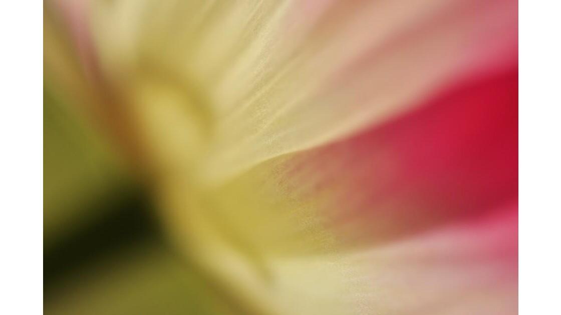 _DSC0205.JPG-Tulipe (détail)
