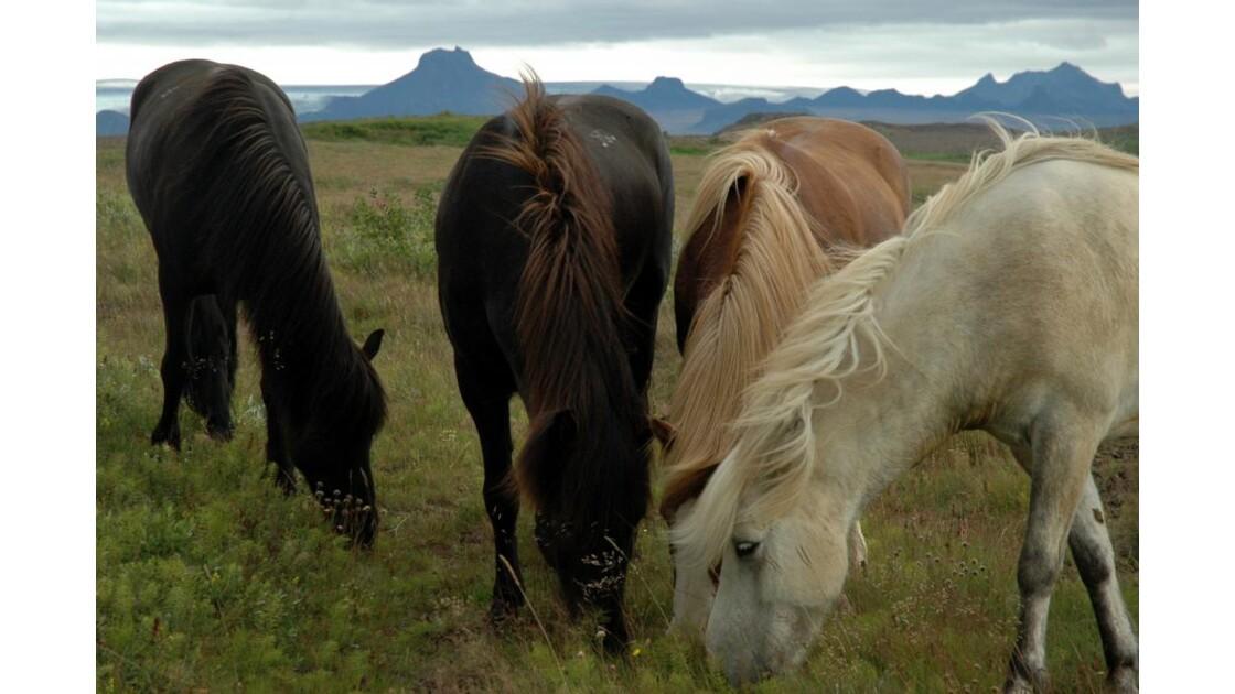 Chevaux Islandais 3