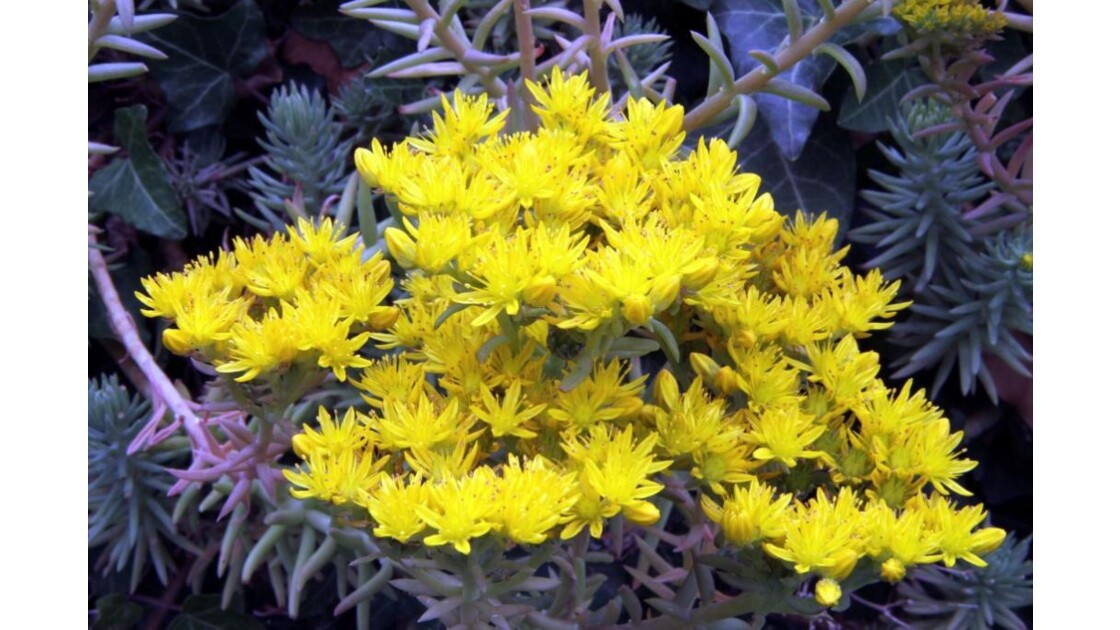 """""""Des fleurs jaunes pour vous ..."""""""