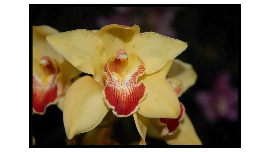 orchidee fee