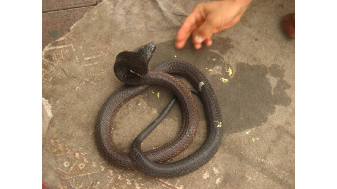 La danse du serpent