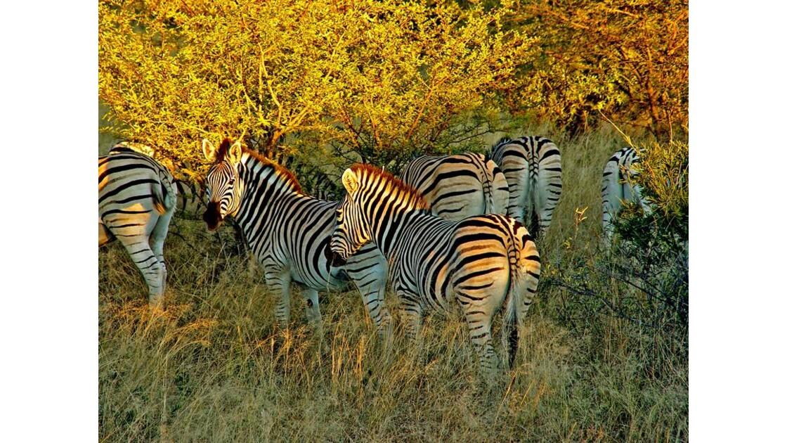 lumières dorées du Pilanesberg