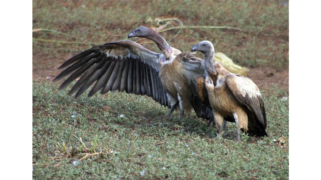 deux vautours au bord de la route