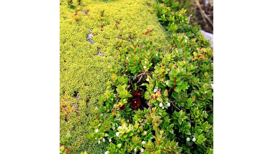 végétation des îles du Canal Beagle