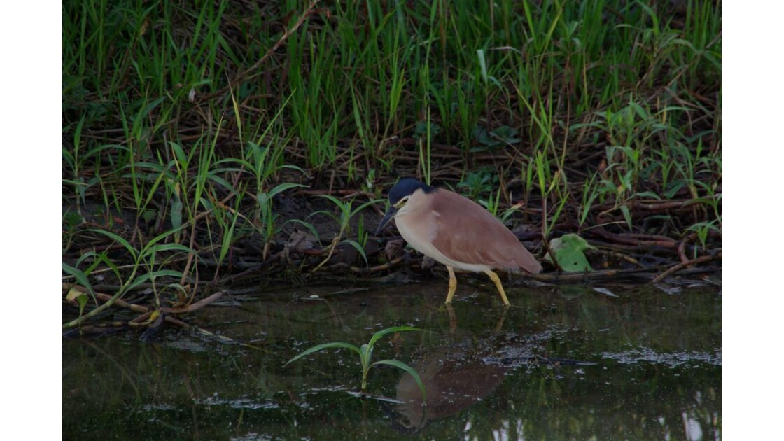Nankeen night heron (bihoreau)