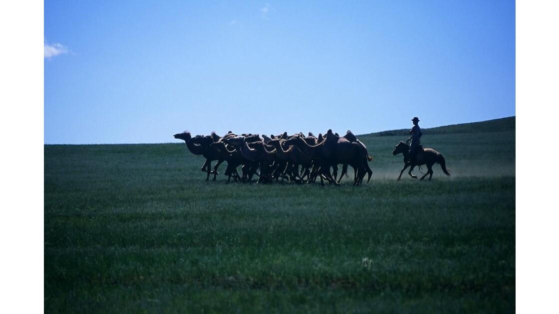 chameaux des steppes