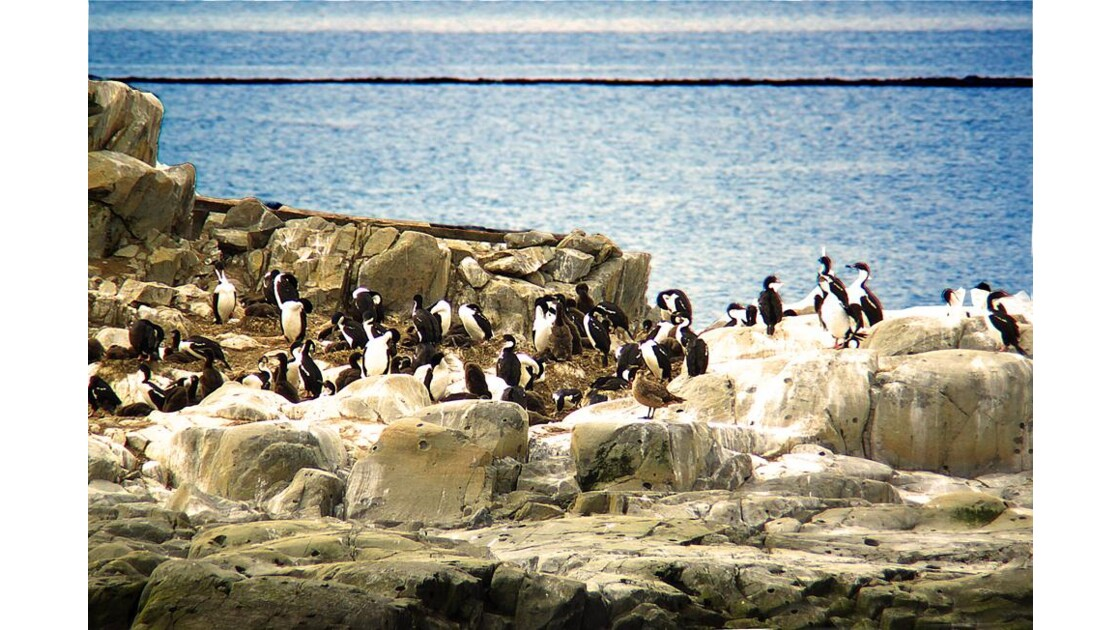 cormorans impériaux  2