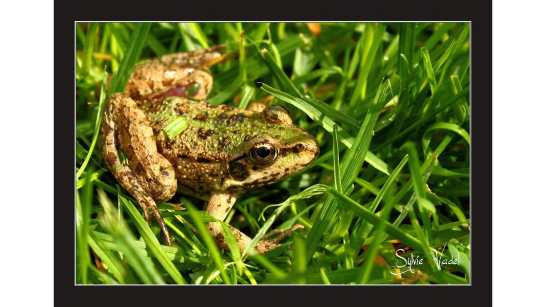 Petite grenouille blessee