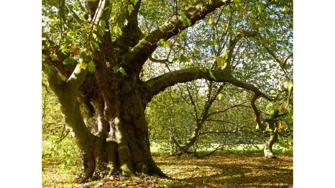 Un arbre vénérable