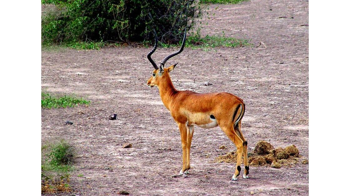 impala à Amboselli   Kenya