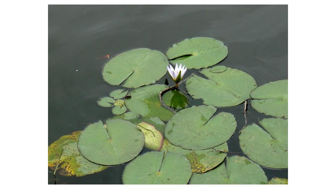 Lotus sans Tintin