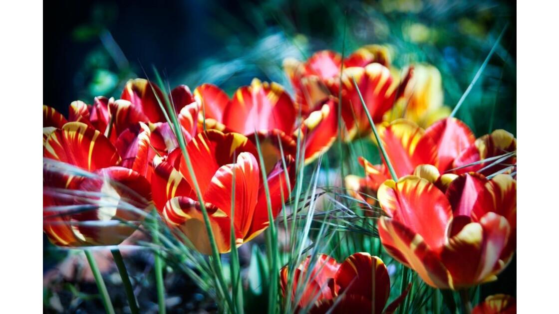 TulipesPsychédéliques_4927.jpg