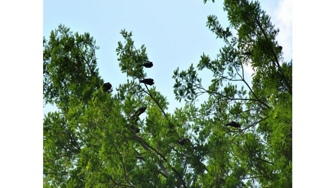 L'arbre à Chauves-Souris ! (VO).