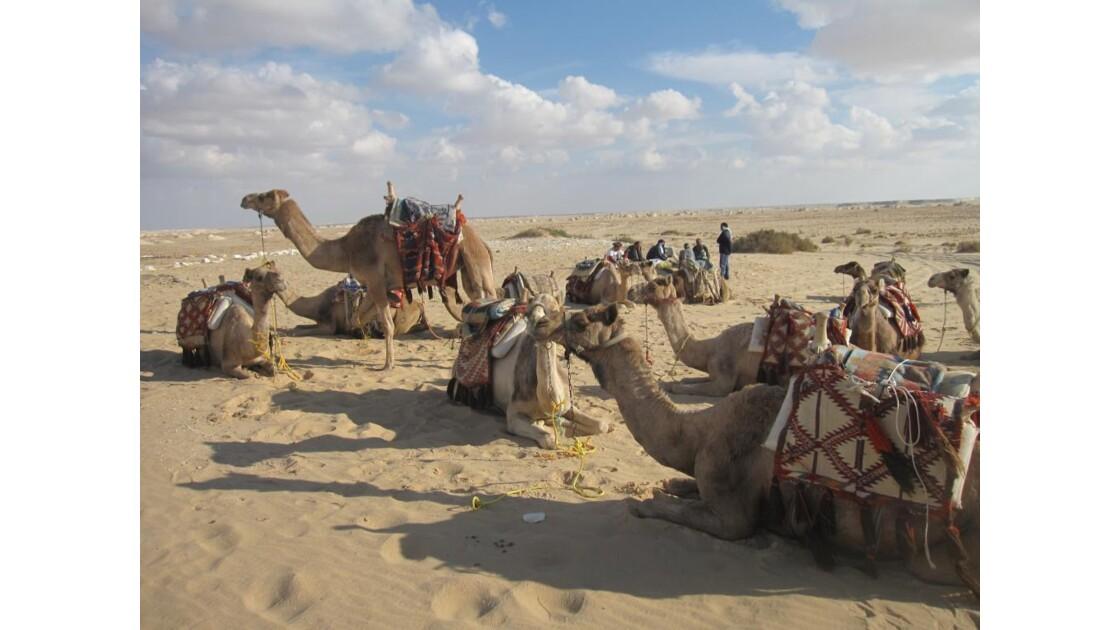 chameaux.