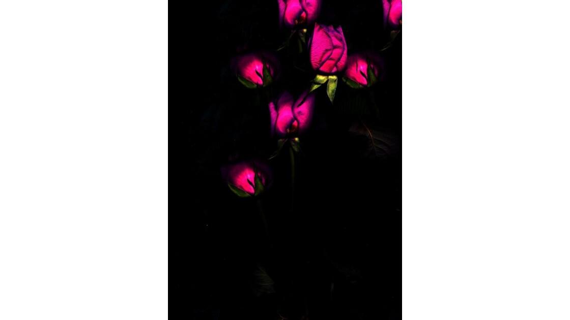 ROSE_NUIT.jpg