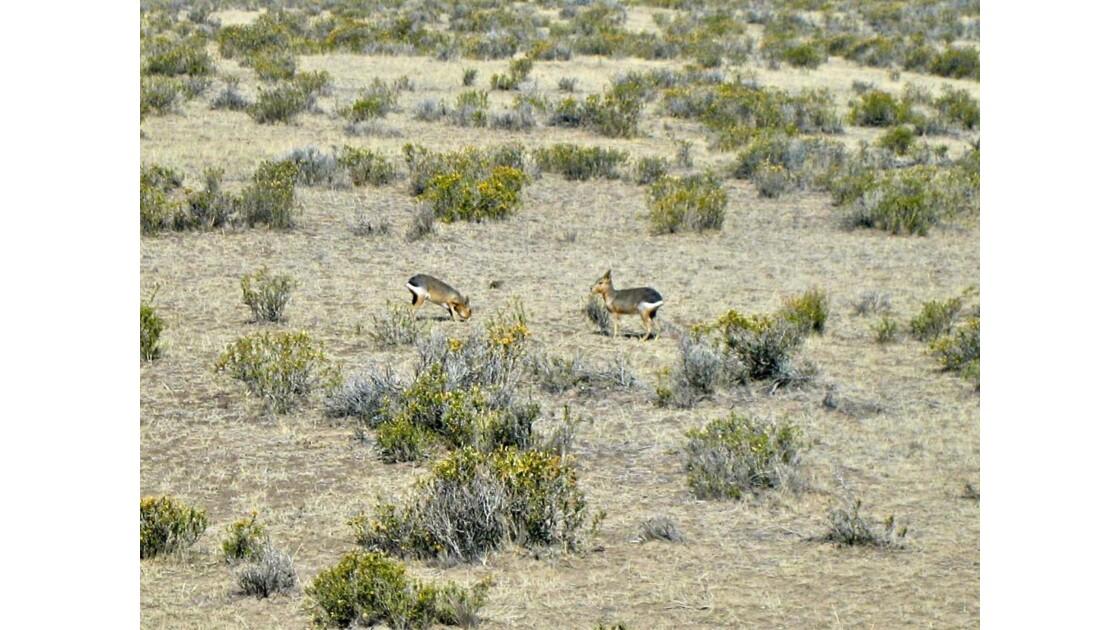 Maras (lièvres de la pampa)