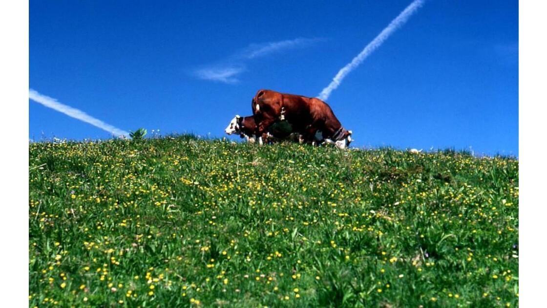 Ah, la vache...