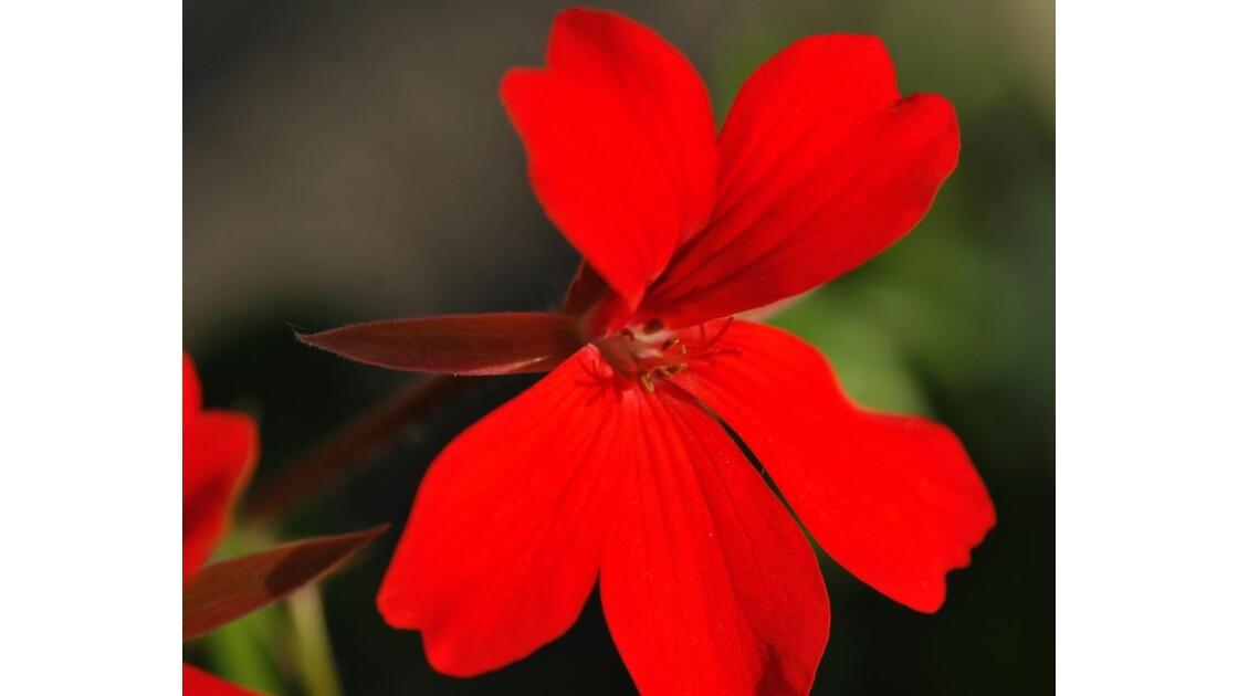 Géranium lierre