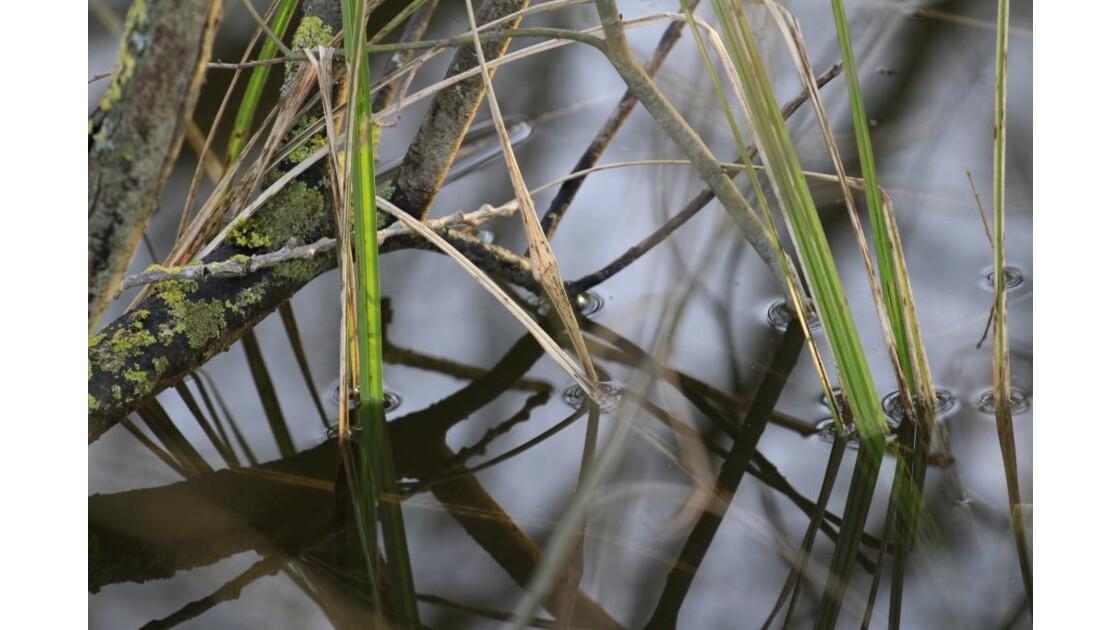 Un alligator dans l'étang ?