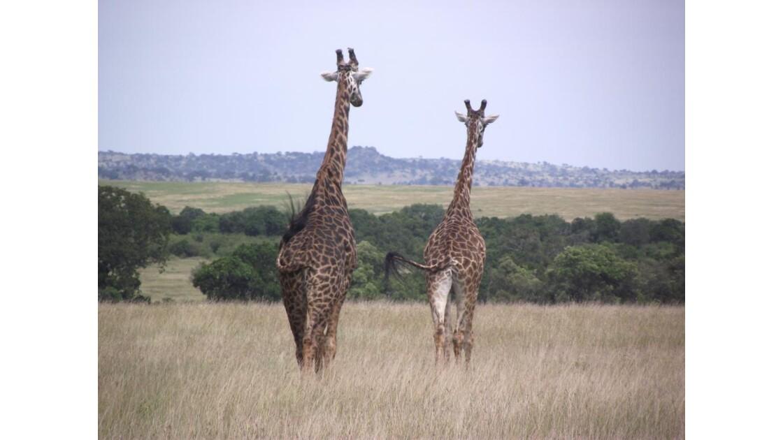 Couple_de_Girafe.JPG