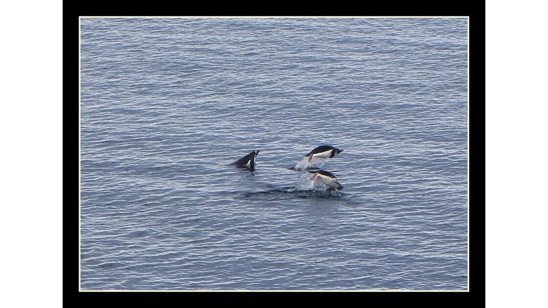 Manchots jouant aux dauphins...