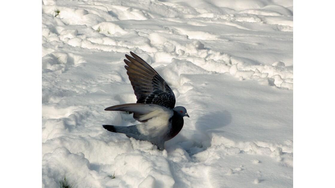 Pigeon dans la neige