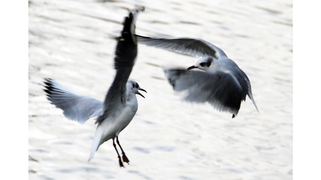 Mouettes - 2013 03 07 (139)