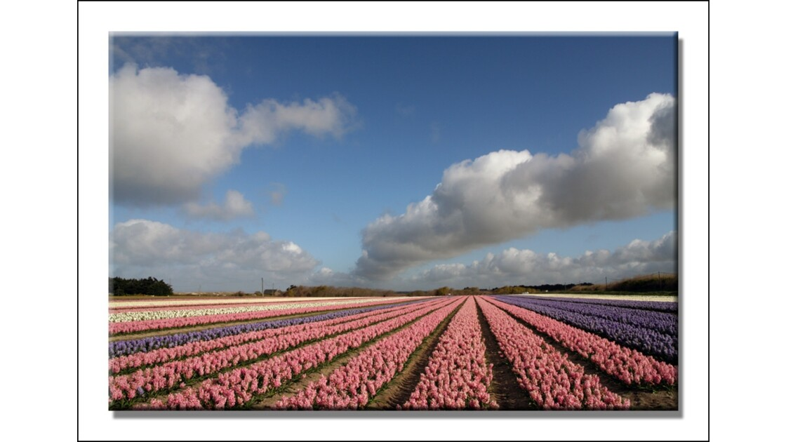Les tulipes de Tronoën.