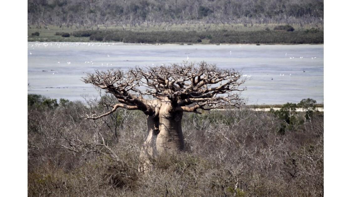 Le baobab sacré ....