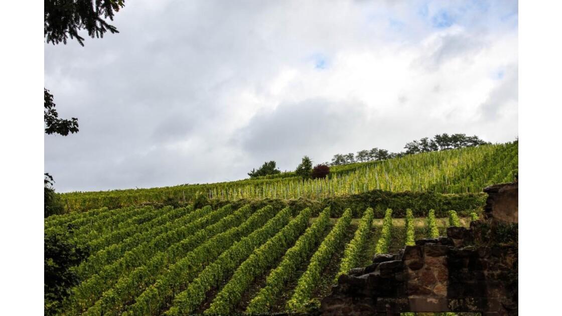 les vignes de Riquewihr....