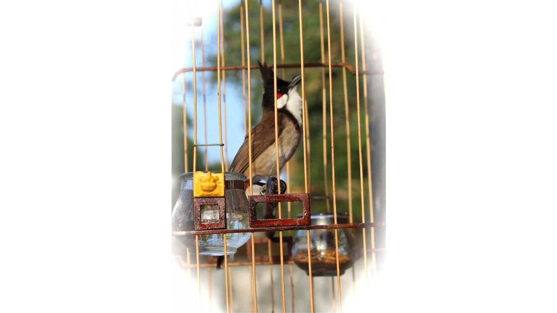 Oiseau Chanteur