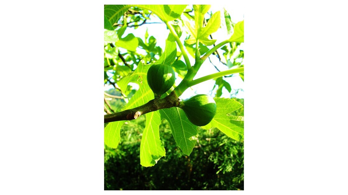 figues vertes ou blanches