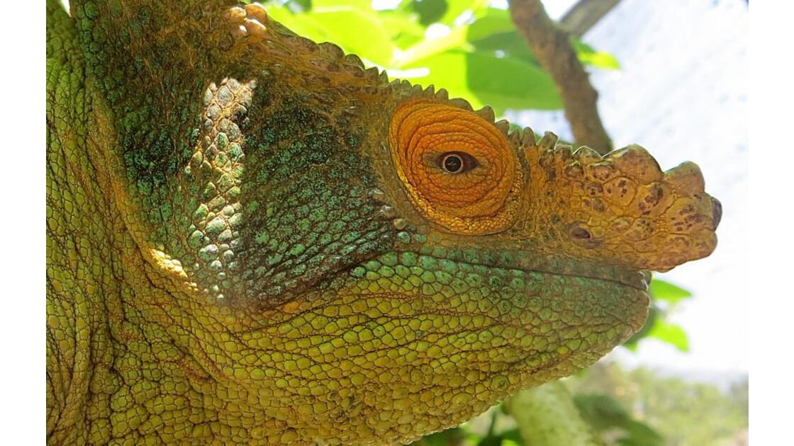 l'oeil du caméléon Parsoni