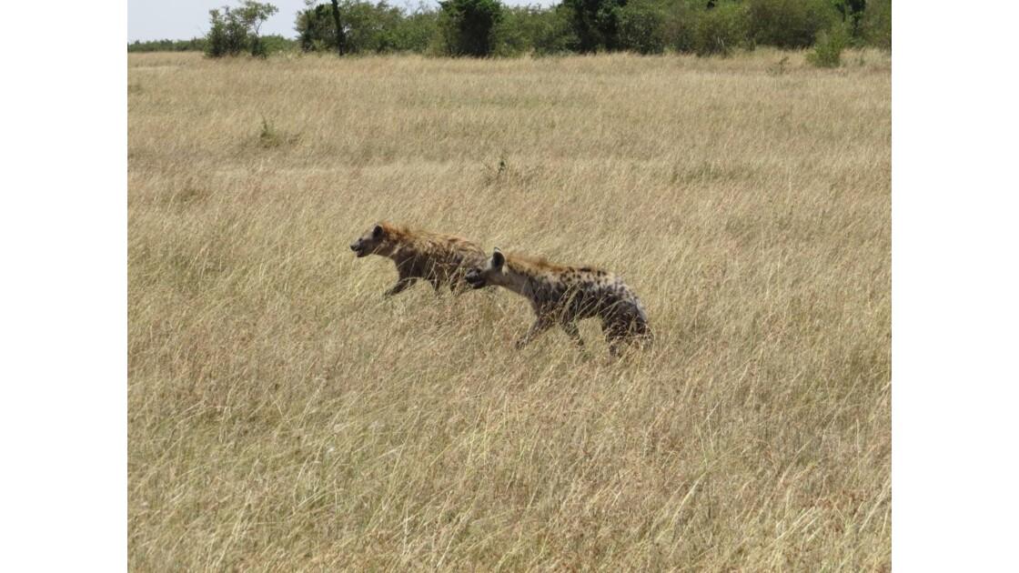 les hyènes arrivent