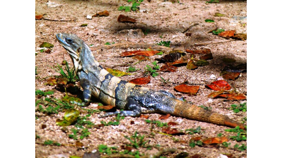 Iguane à Uxmal, Yucatan