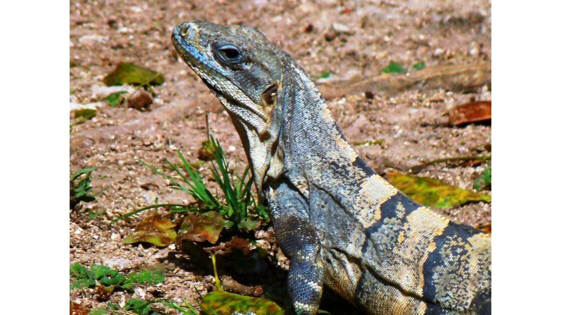 Iguane à Uxmal, Mexique