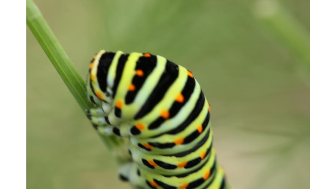 chenille de machaon:tête