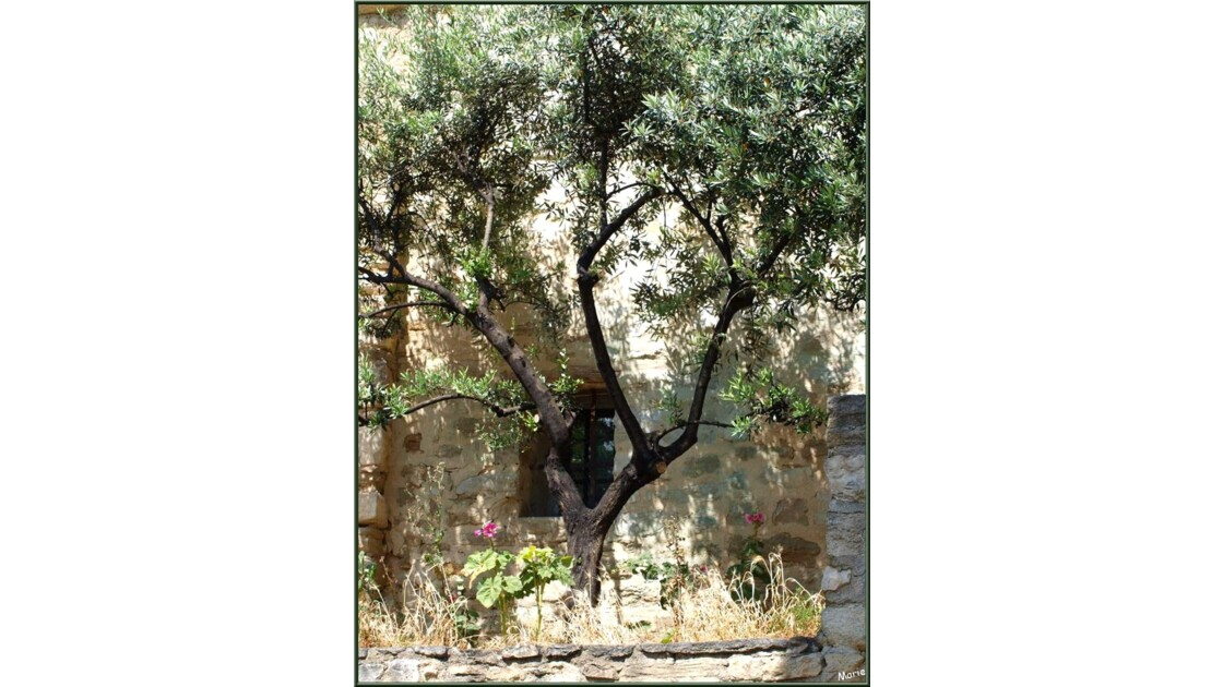 Fenestrou à l'olivier_P6019218.jpg